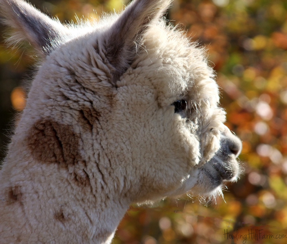 Appaloosa alpaca face